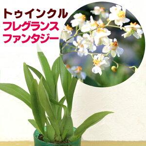 ジャパンフラワーセレクション トゥインクル フレグランスファンタジー
