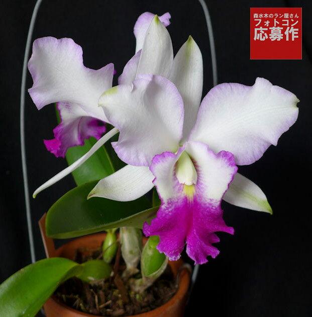 ミディカトレア ドロシーオカ ヒノモト 【花咲く苗セット】