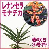 洋ラン『レナンセラ原種 モナチカ【花咲く苗セット】』育て方の説明書付き 洋蘭苗栽培キット