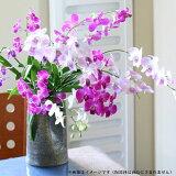 【ラン】『デンファレ〜超長持ちバルブカット 10本〜【切り花】』※切り花のみ:鉢は含まれません※
