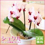 M2『リビング胡蝶蘭2本仕立て「シュクル」』「感謝」という名の花ギフトテーブルで華やぐ笑顔陶器鉢仕立て!