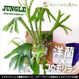 『コウモリラン+デンドロ2種の板付けセット』デンドロビウム「エンジェルベイビー」「ロディゲシー」+エアープランツ「ストリクタ」「ラン」ではありません。「おもしろ植物」です!育て方の説明書付き男前インテリア観葉植物