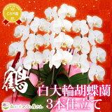 『胡蝶蘭 3本立ち 大輪「鶴(つる)」』立札無料・メッセージカード無料 敬老の日 各種お祝い お供え 仏花など贈り物に 白大輪胡蝶蘭(コチョウラン)の生花鉢花
