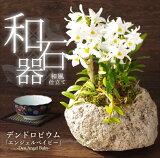 『ミニデンドロ エンジェルベイビーとロディゲシー 和石器仕立て (大)』和風軽石栽培は盆栽好きの方にピッタリ!