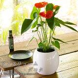 母の日プレゼント2020贈り物にもピッタリでかわいい!『お洒落な観葉植物セット鉢植え(サンスハニー・ファイヤーボール)+おまけストリクタ付き』母の日ギフトにも!母の日ギフト