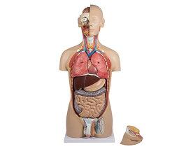 内蔵27分解モデル【模型】【人体模型】【学校】【教育】【病院】【施設】【内臓】