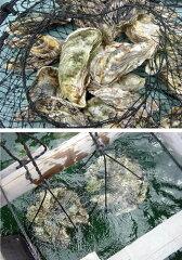 「あなたの牡蠣を育てます!」食べる楽しみだけではなく自分の牡蠣が育つ楽しみ気分はまるで虫...
