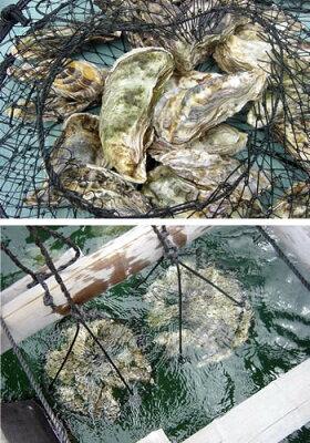 「あなたの牡蠣を育てます!」食べる楽しみだけではなく自分の牡蠣が育つ楽しみ虫明湾に浮かぶ...