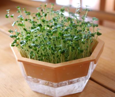 グリーンフィールド ブロッコリースプラウト栽培キット有機種子 B033