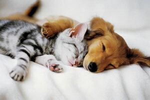 かわいい犬と猫の寝顔がポイントよりそって ポスター