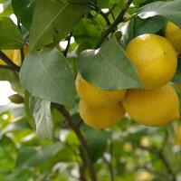 レモン無農薬栽培
