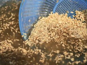 塩水で種籾を洗うと病気の種は上に上がってきますのでその種を取り除きます。小出農場ではこの様に農薬の使用を抑えています。