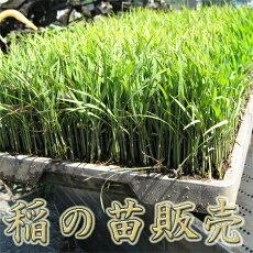稲の苗販売
