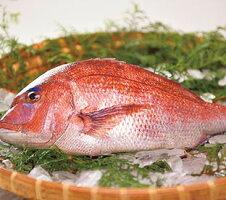 仮屋漁業真鯛