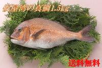 【送料無料】仮屋湾の真鯛(1.5キロ)