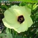 オクラ 種子 花オクラ (とろろあおい) 7ml 【ラッキーシール対応】