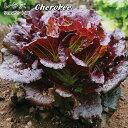レタス Cherokee 9cmポット苗 赤いリーフレタス 【輸入種】 【ラッキーシール対応】