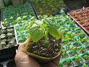 鹿児島県の在来種で、果長が35cm程度になる長型ニガウリ。ゴーヤ苗さつま大長れいし