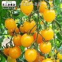 フルーツ感覚の甘さ、鮮やかなレモンイエロー。ミニトマトイエローミミ実生苗