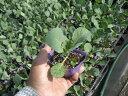 暑さに強く、肉質やわらか!夏秋どり極早生種!初秋キャベツ苗