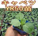 萎黄病に強い!球色・食味のよい夏秋どり極早生種!キャベツYR50苗