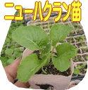 ハクランは、白菜とキャベツの交配で生まれたバイオ野菜。岐阜交配・ニューはくらん苗