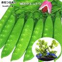 極早生で病気に強く、たくさん収穫できる。赤花つるあり絹さやえんどう苗