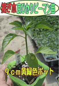 PMMoV-L3耐病性!肥大性にすぐれた濃緑中型種接ぎ木京ひかりピーマン苗