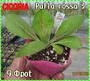 赤い葉に白い葉脈が入る350gほどの球形品種。リーフチコリーpalla rossa 3(ナチュラルハーベス...