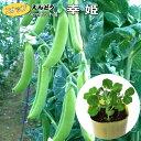 甘くてプリップリの肉厚スナップ豌豆。松永交配フルーツスナップ豌豆幸姫(さちひめ)苗