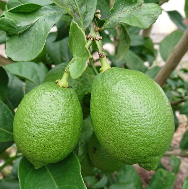 中島みかん農園『きれいなレモン 贈答用 1kg』