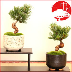 常緑で育てやすい松盆栽。縁起ものでお祝いやプレゼントにもピッタリ!【送料無料】 五葉松盆栽...