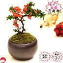 【送料無料】四季咲き長寿梅モダン盆栽 瀬戸焼鉢 チョウジュバイ 卓上盆栽迎春お正月ギフトプレゼントに