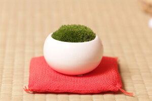 コケボンサイにチャレンジ!お値段下がりました【単品】苔盆栽  陶器入りコケ盆栽 ホソバオ...