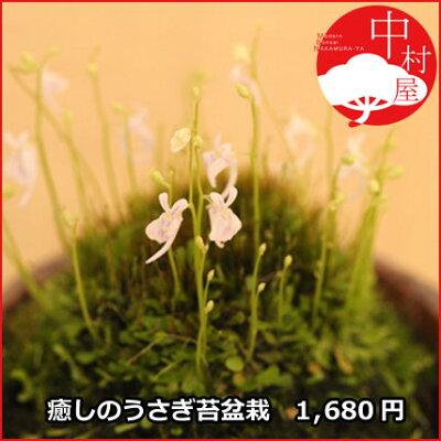 うさぎの花が次々と!ウサギ苔盆栽 信楽焼鉢の苔盆栽  うさぎの花が咲きます!可愛いプレゼン...