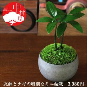 丈夫で育てやすいミニ盆栽。熊野神社御神木♪ナギ盆栽 高級イブシ瓦ミニ鉢 鉢の色が選べる盆...