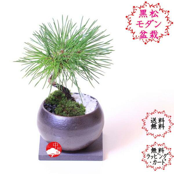 黒松と瀬戸焼のミニ盆栽