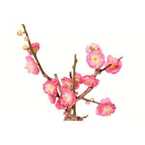 [विनाइल पॉट सैपलिंग] फूल का अंत हनूम बोन्साई खिलना उमे मिनी उउमेउ हनूम चेरी ब्लॉसम बोन्साई
