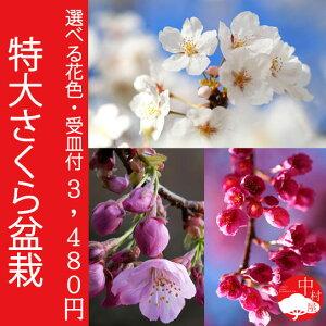 富士、染井吉野、うこん、八重咲、陽光、寒緋、河津 さくら盆栽選べるサクラ品種7種類!受け皿...