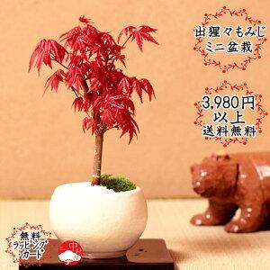 Desperm Momiji bonsaï Mini bonsaï moderne avec un ensemble de feuilles d'érable et un seto ware Bonsai Day cadeau Fête des mères Fête des pères cadeau Sakura Bonsai à l'intérieur