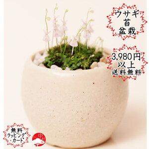 うさぎの花が次々と!ウサギ苔盆栽 瀬戸焼白鉢の苔盆栽  うさぎの花が咲きます!可愛い母の日...