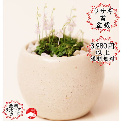 うさぎの花が次々と!ウサギ苔盆栽 瀬戸焼白鉢の苔盆栽  うさぎの花が咲きます!可愛いプレゼ...