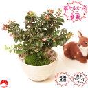 姫サルスベリのミニ盆栽 百日紅 瀬戸焼白鉢入り 暑さに強くギフトプレゼントに