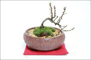 カッコイイ盆栽です信楽焼と長寿梅の盆栽 鉄焼の盆栽鉢が渋い お祝いにも人気の盆栽 チョウ...