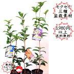 【苗木 庭木】モクセイ3種 ギンモクセイ キンモクセイ 四季咲きモクセイ 母の日父の日ギフトプレゼントに