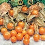 『食用ほおずき/ゴールデンベリーの苗4個セット』