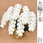 【送料無料】胡蝶蘭大輪超豪華7本立て白