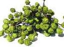 ドライフラワー花材 センダンの実