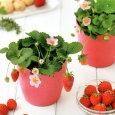 イチゴ栽培セットピンクの花咲くストロベリー栽培セット栽培キット四季なりイチゴプレゼント誕生日ギフト母の日