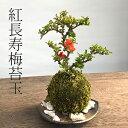 苔玉 紅長寿梅(ベニチョウジュバイ)・黒備前器・敷石セット